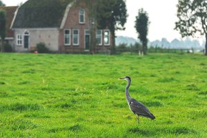 Wild grey heron in a countryside