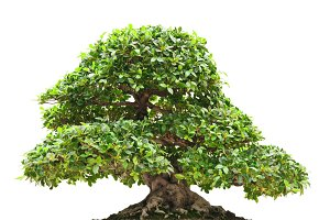 Ficus bonsai over white background