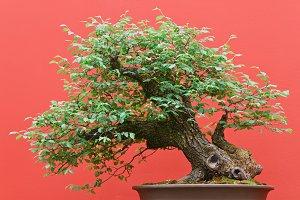 Zelkova bonsai over red background