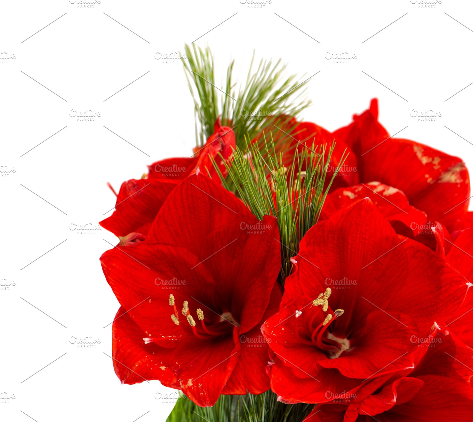 Save. Amaryllis. Christmas flowers