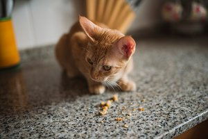 Orange tabby kitten eating