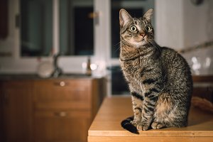 Tabby cat in the kitchen at home