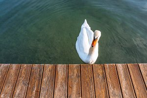 Swan at lake Bled