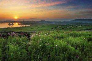 Green tea field in morning