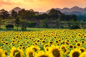Blooming sunflower field in evening