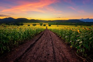 Natural view at sunflower field
