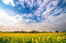 Wide sunflower field with blue sky