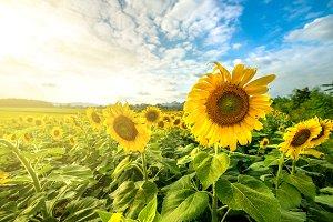 Blooming sunflower in field