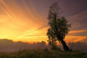 Old willow tree at sunrise