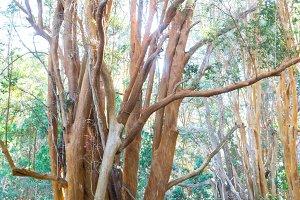 arrayan tree