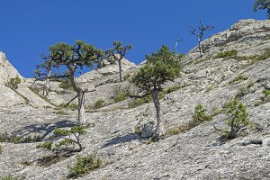 Relict pine trees on the rock
