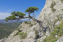 Relict pine on a steep mountain slop