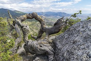Twisted trunk of a dried pine.