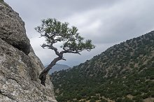 Relict pine against the gray sky.