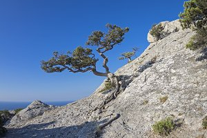 Jjuniper tree on the mountainside.