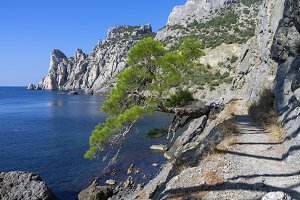 Relict pine on the sea coast. Crimea