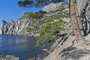 Relict pine on the coastal cliff.