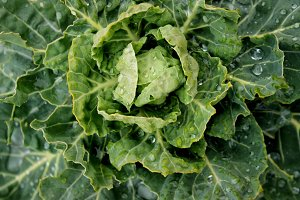Cabbage Close-up 1