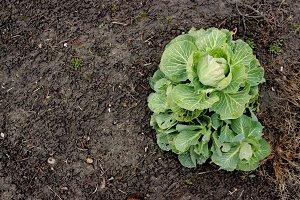 Cabbage - Landscape