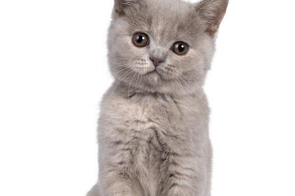 Lilac Tortie British Shorthair Kitte High Quality Animal Stock Photos Creative Market