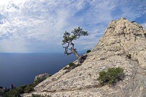 Relict pine on mountain peak. Crimea