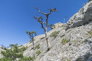 Dried relict pine against the sky