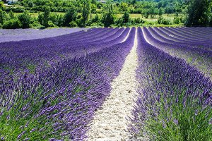 Lavander fields in France