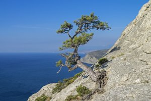 Pine on a cliff above the sea.