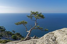 Relict pine in the rocks