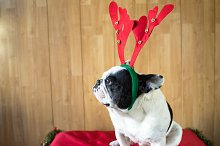 Dog dressed for Christmas