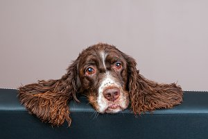 adorable springer spaniel dog