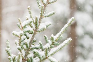snowy fir tree
