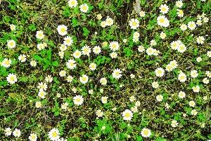 White daisies flowers field