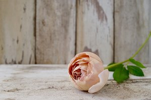 'Abraham Darby' rose