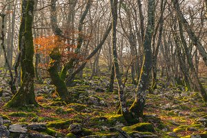 Beech tree forest in autumn