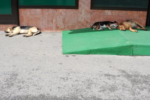 Stray dogs sleeping