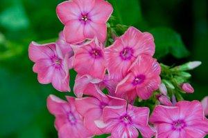 Pholx Flower
