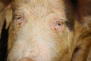 Pig's eyes