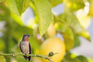 Hummingbird in lemon tree