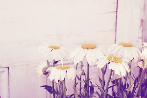 White daisy mums