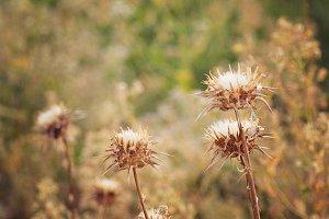Autumn thistles