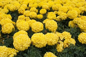 Field of yellow marigolds