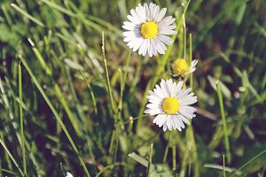 Little white daisies (portrait)