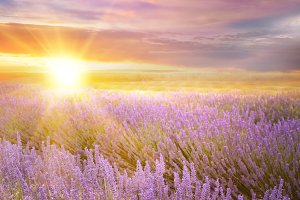 Sunset sky over a lavender field
