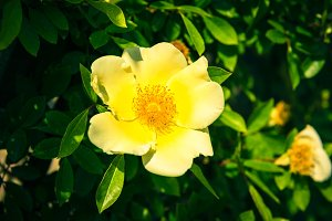 Bush of beautiful yellow dog-roses