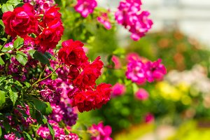 Bush of beautiful roses