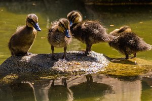 Four ducklings on a stone