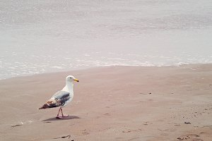 Seagull strolling