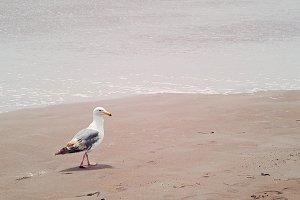 Seagull strolling