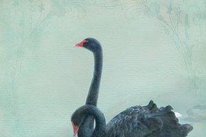Black swans (portrait)